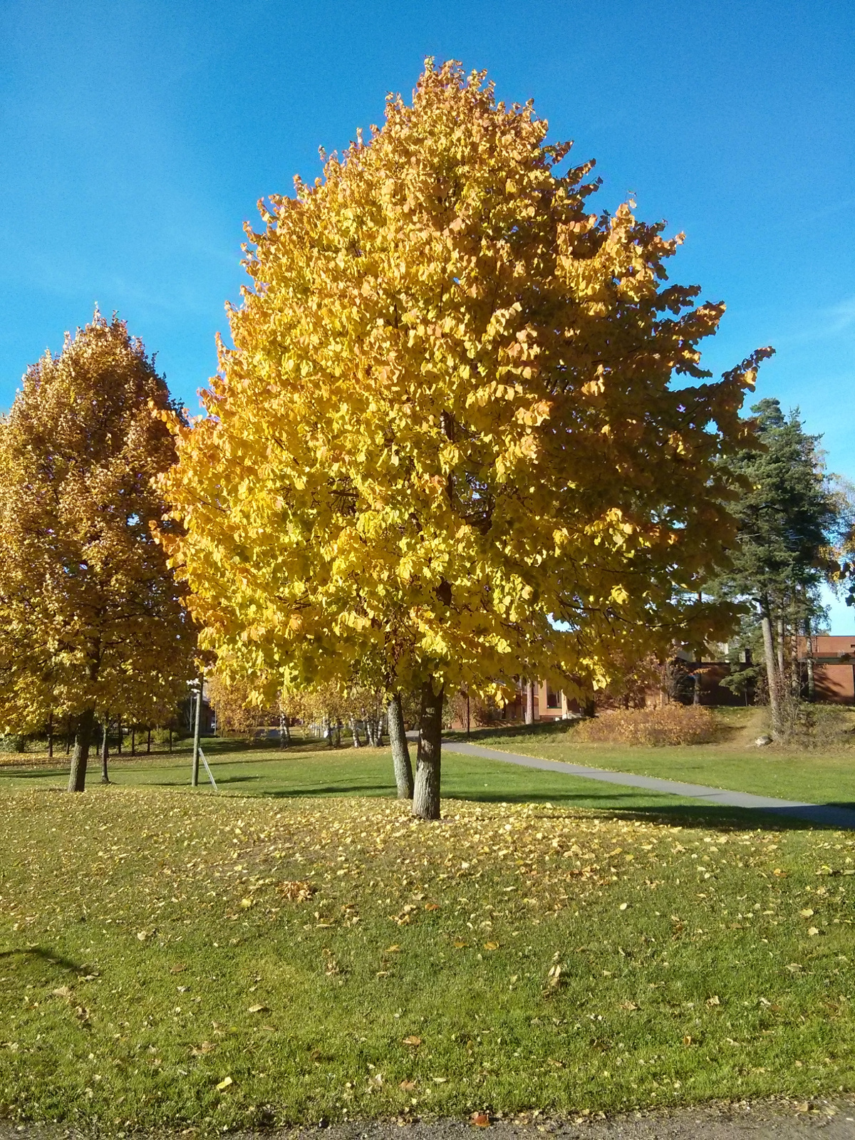 A tree during fall/ruska