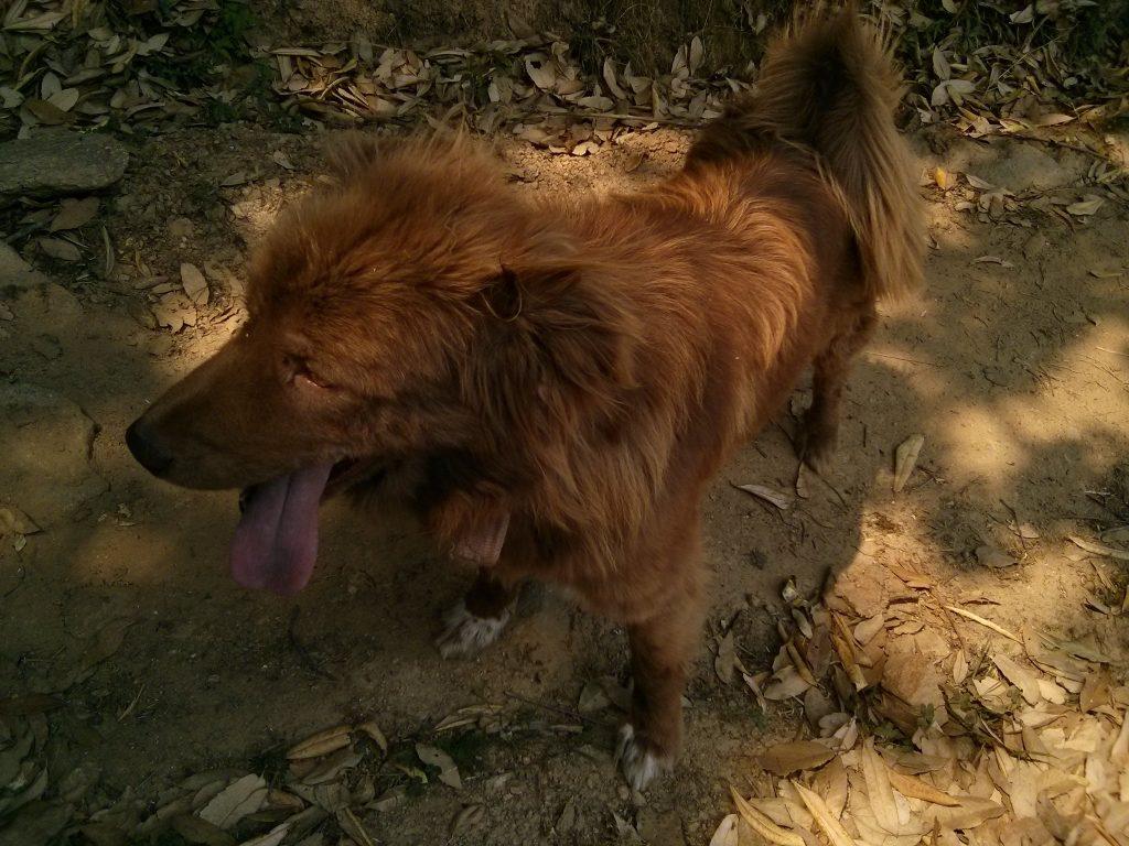 Eksoottisia (villi?)eläimiä 4/4. Intialainen koira.